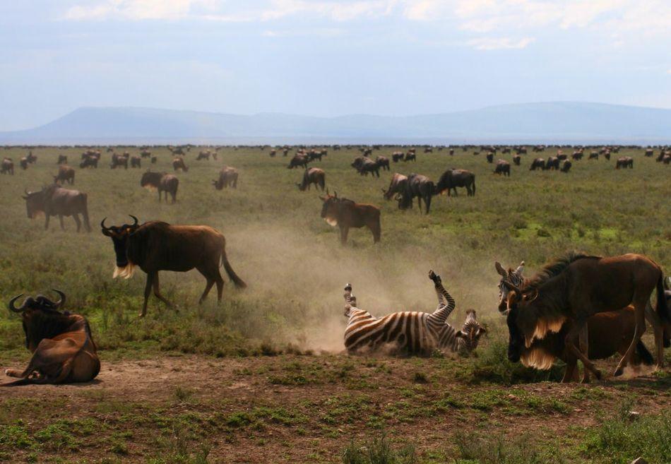Nature Landscape Wildlife & Nature Wildlife Tanzania Serengeti National Park Africa Zebra Wildbeast Migration