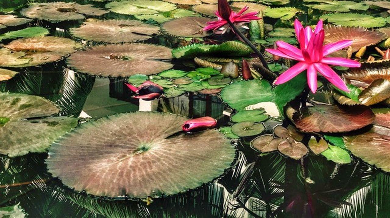 Nenuphars Nenuphar Nenufares Waterflower