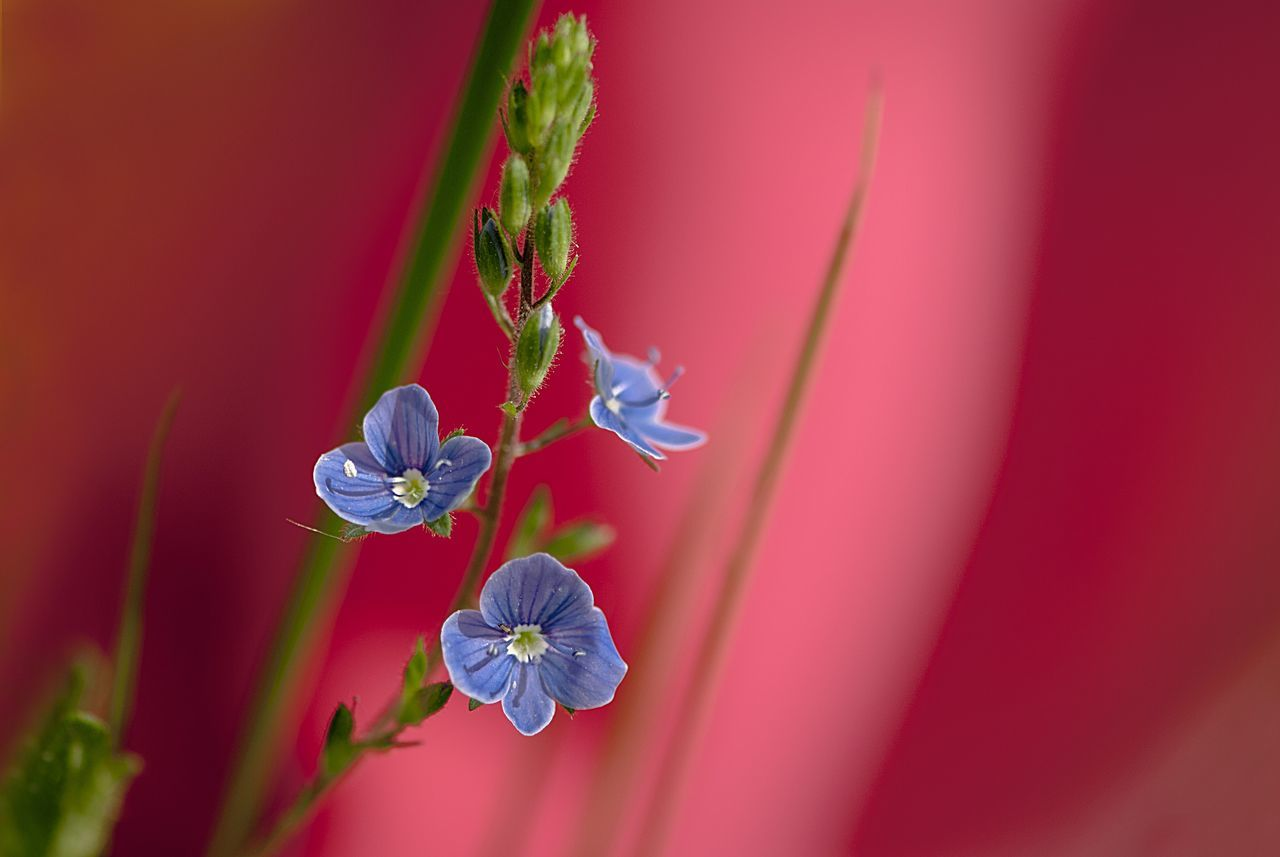 Beauty In Nature Best Of EyeEm Blue Flowers Close-up Colors Concept Conceptual Contrast Day Exceptional Photographs Fantasy Flower Flower Head Fragility Freshness Growth Idea Macro Art Multi Colored Nature No People Nostalgia Petal Plant Red Background Millennial Pink