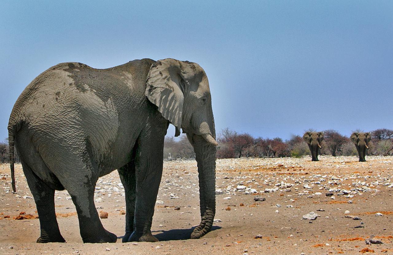 Beautiful stock photos of wüste, Animal Themes, Animal Trunk, Animal Wildlife, Animals In The Wild