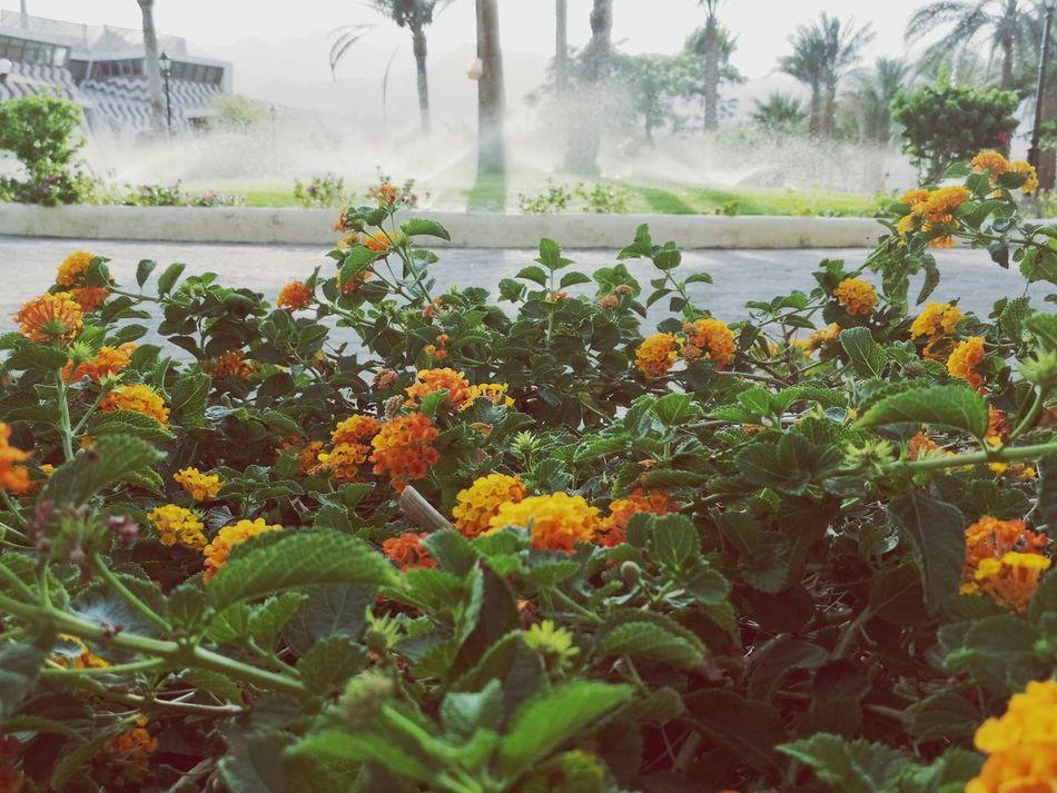 Flowers Growth Nature Spraying Outdoors Beauty In Nature Fog Water Tree Freshness Flower Head Dahab Saini Swisin Hauweimate8