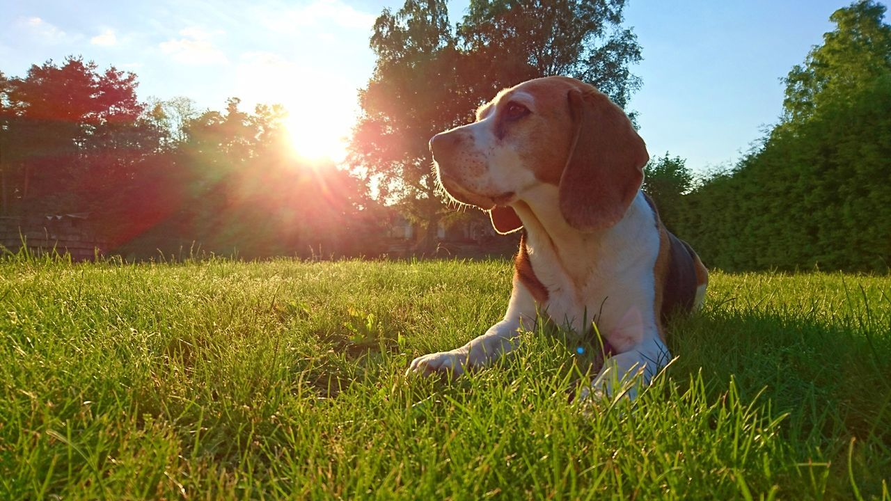 Dog Pets Grass One Animal Domestic Animals Outdoors Animal Nature Summer Lawn Sunlight Sitting Animal Themes Beagle Tree Sky Beaglelove Beaglelife Beagle Channel Beagleoftheday Beaglelovers Beagle Dog Cocothebeagle Bestbeagle Lovemydog