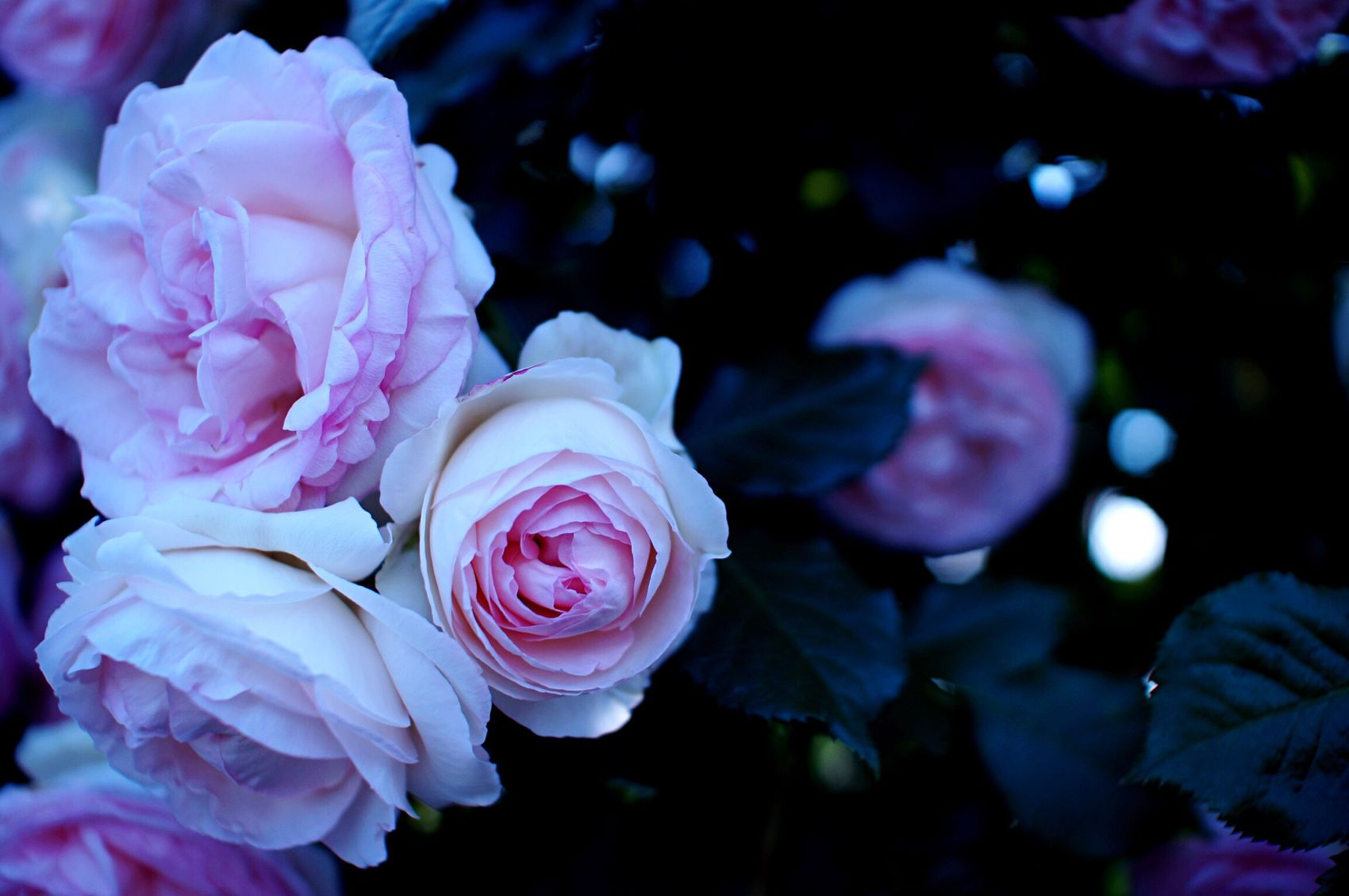 Japan Hello World 薔薇 香り