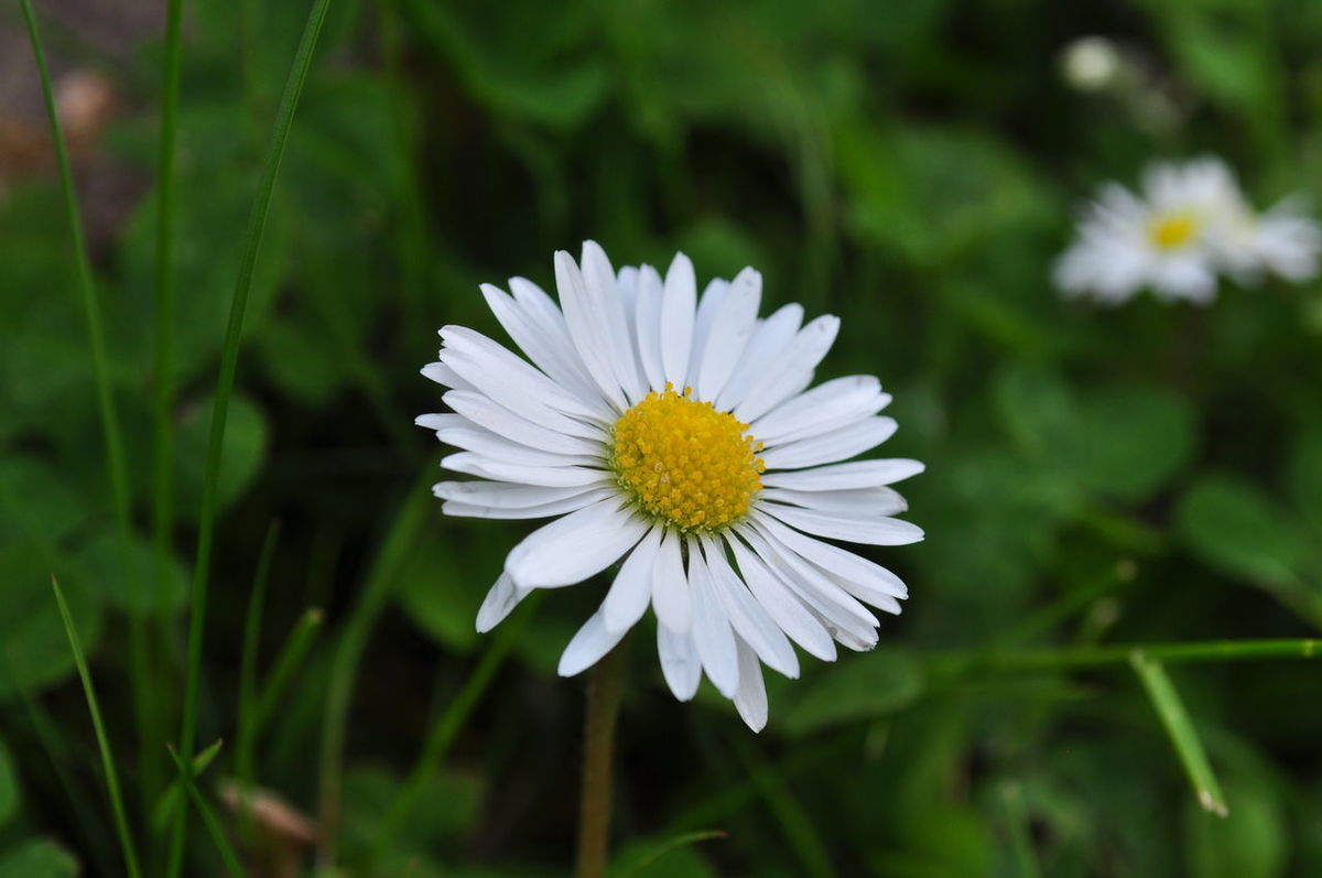 Little daisies blooming Beauty In Nature Bloom Blooming Blossom Close-up Daises Day Flower Flower Head Freshness Garden Grass Growth Natural, Nature No People Outdoors Petal Plant Season  Small Flowers Spring Summer White