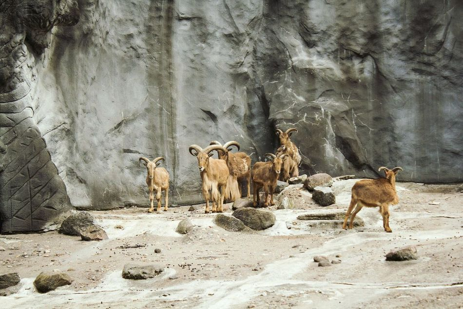 Animal Themes Animals In The Wild Mammal No People Nature Day Outdoors Beauty In Nature Large Group Of Animals Family Ibex Ibex On A Rock Ibexes Capricorn Goat Together Togetherness