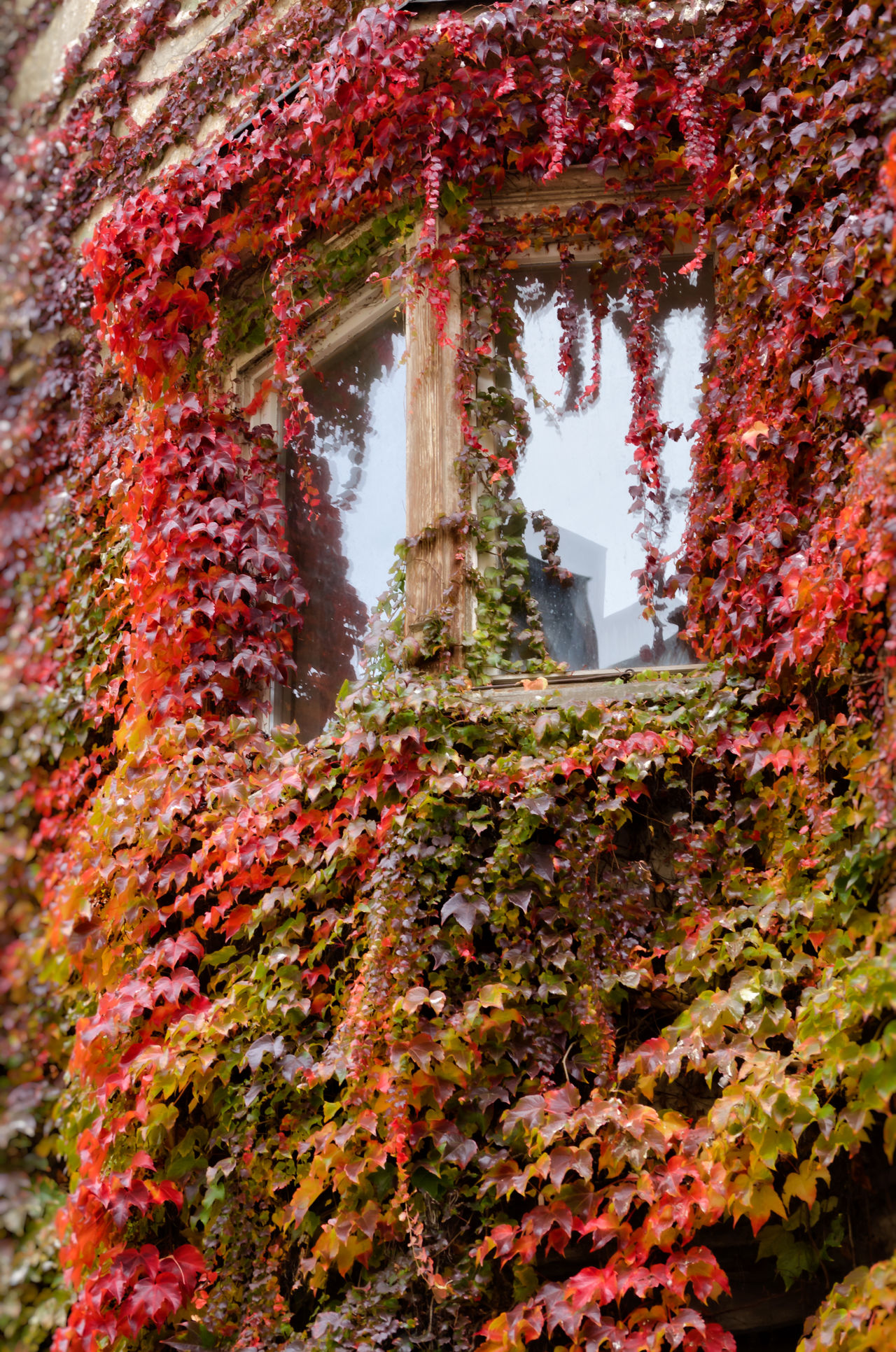 Colourful ivy covers a building around a window in Bressanone, Italy Architecture Autumn Autumn Beauty In Nature Bressanone Change Italy Ivy Low Angle View Multi Colored No People Red Season  Window