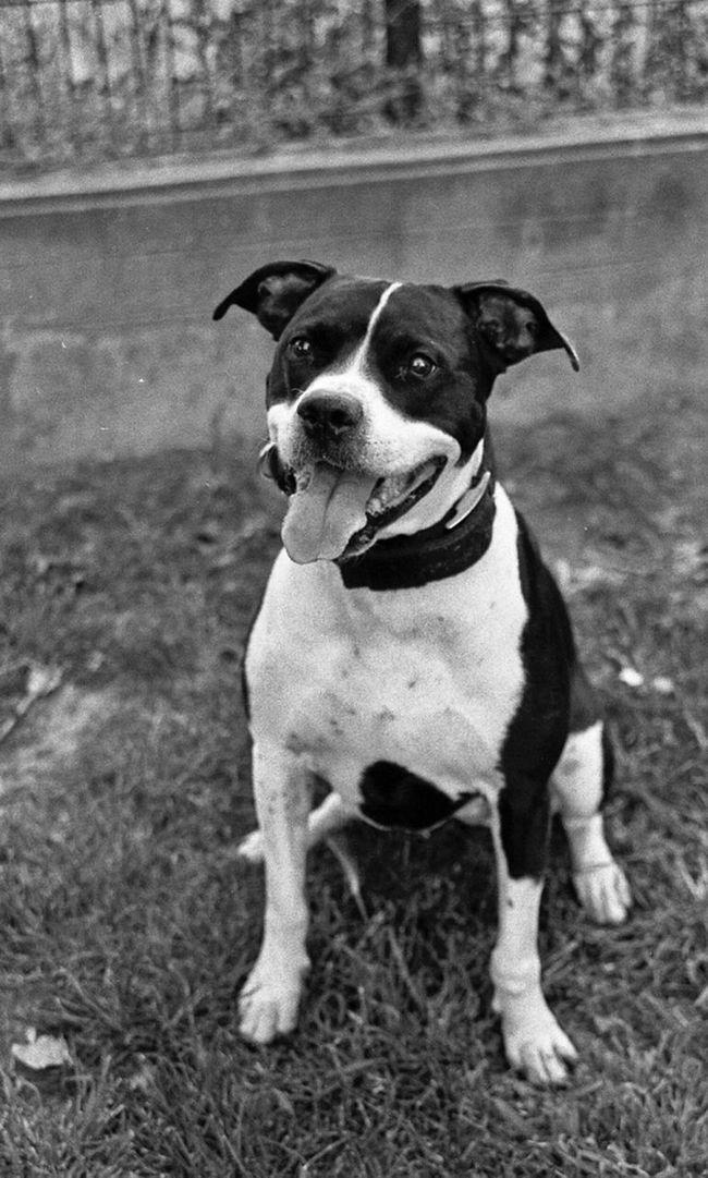 Streetphotography Blackandwhite Dog Nikon Streetphoto_bw Pitbull