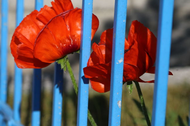 Blossom Blue Fence Close-up Day Fence Flouers Focus On Foreground Metal Bars Outdoors Poppy Flowers Red Red Poppy Through The Fence