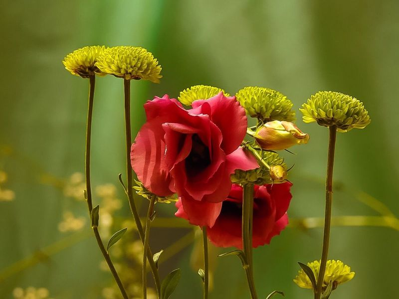Naturel FLOWERS Flower Growth Beauty In Nature Nature Freshness Fragility Petal Plant Focus On Foreground Blooming Flower Head Close-up No People Day Outdoors Zinnia