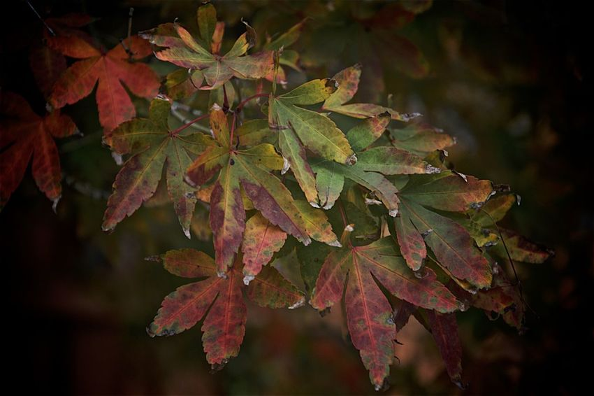 Autumn Beauty In Nature Botany Change Close-up Dark Focus On Foreground Green Color Growing Growth Leaf Leaf Vein Leaves Natural Pattern Nature No People Outdoors Plant Season  Selective Focus Tranquility Twig