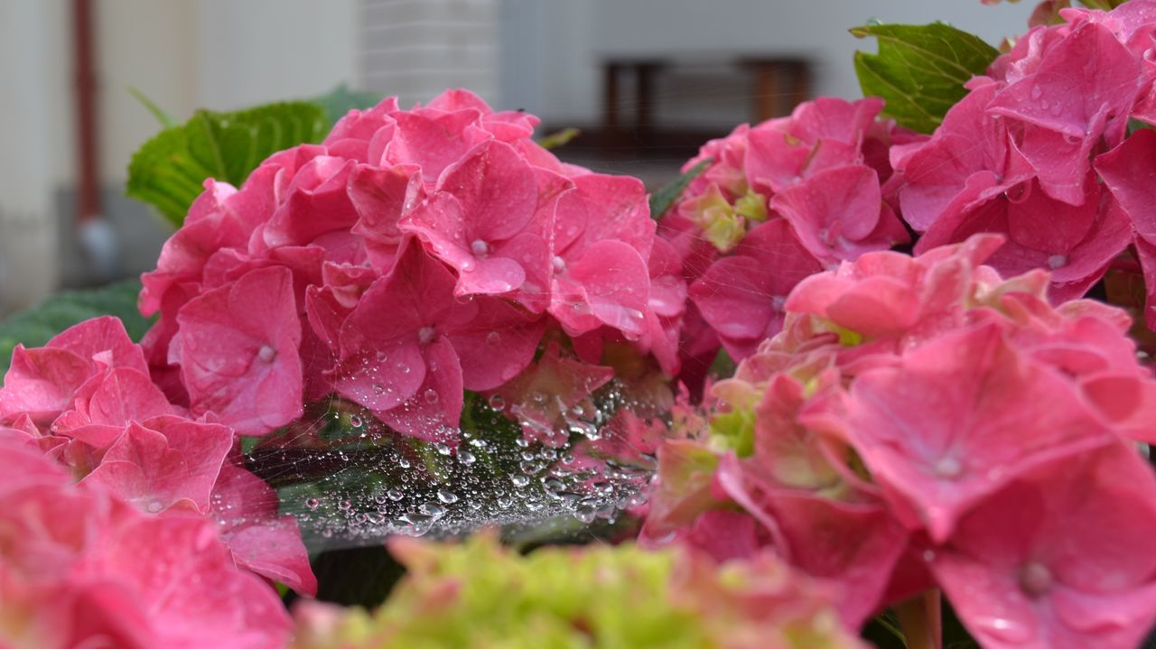 Beauty In Nature Blooming Botany Flower Flower Head Focus On Foreground Freshness No People Pink Color Pink Flower Hortensia Drops Flower And Drops