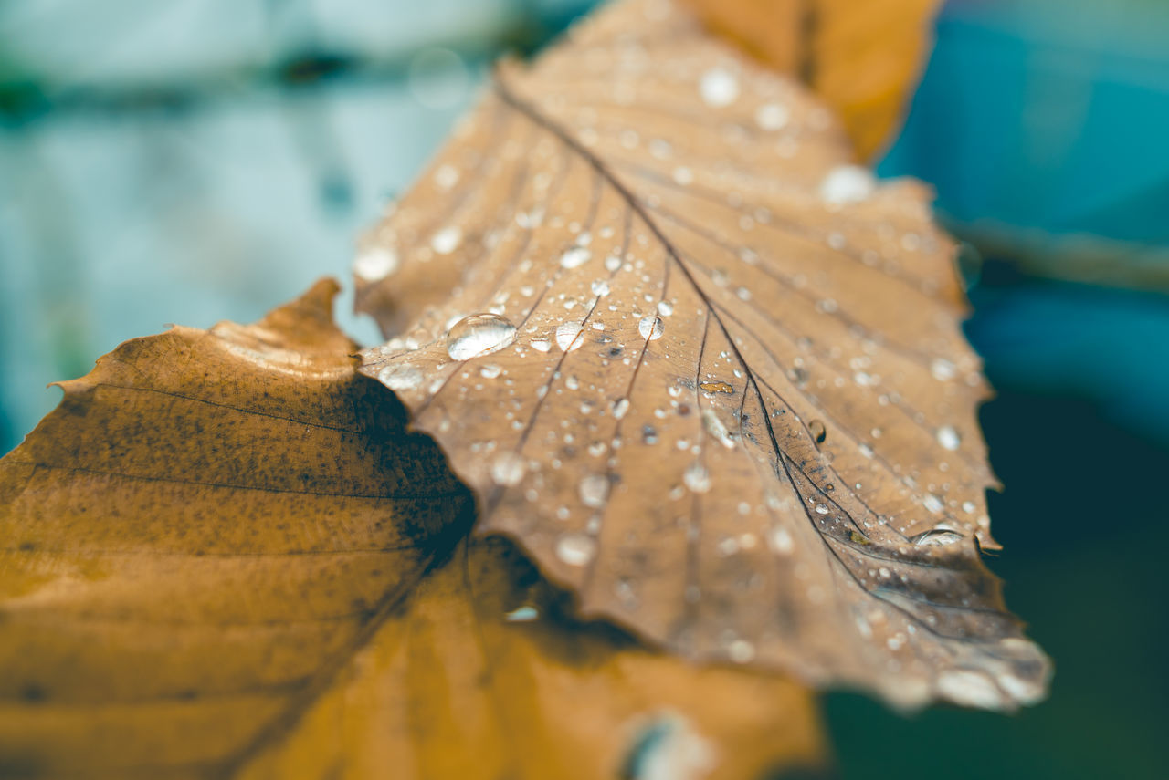 Autumn Beauty In Nature Close-up Day Dew Drops Fall Fall Beauty Fall Colors Fall Leaves Fragility Leaf Nature No People Outdoors Rain Drops On Leaves Water Water Drop Water Droplets Wet