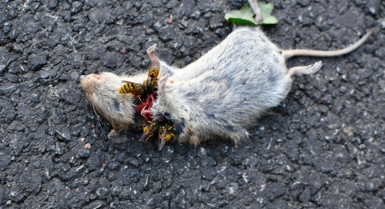 Animal Themes Close-up Dead Animal Dead Mouse Death Domestic Animals Fragility No People One Animal Outdoors Wasp Attack Wasps Eat Mouse Wasps Kill Mous Wildlife Zoology
