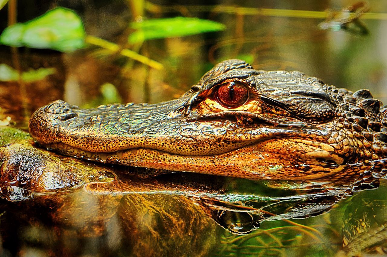 animals in the wild, animal themes, reptile, one animal, animal wildlife, no people, outdoors, close-up, day, nature, water