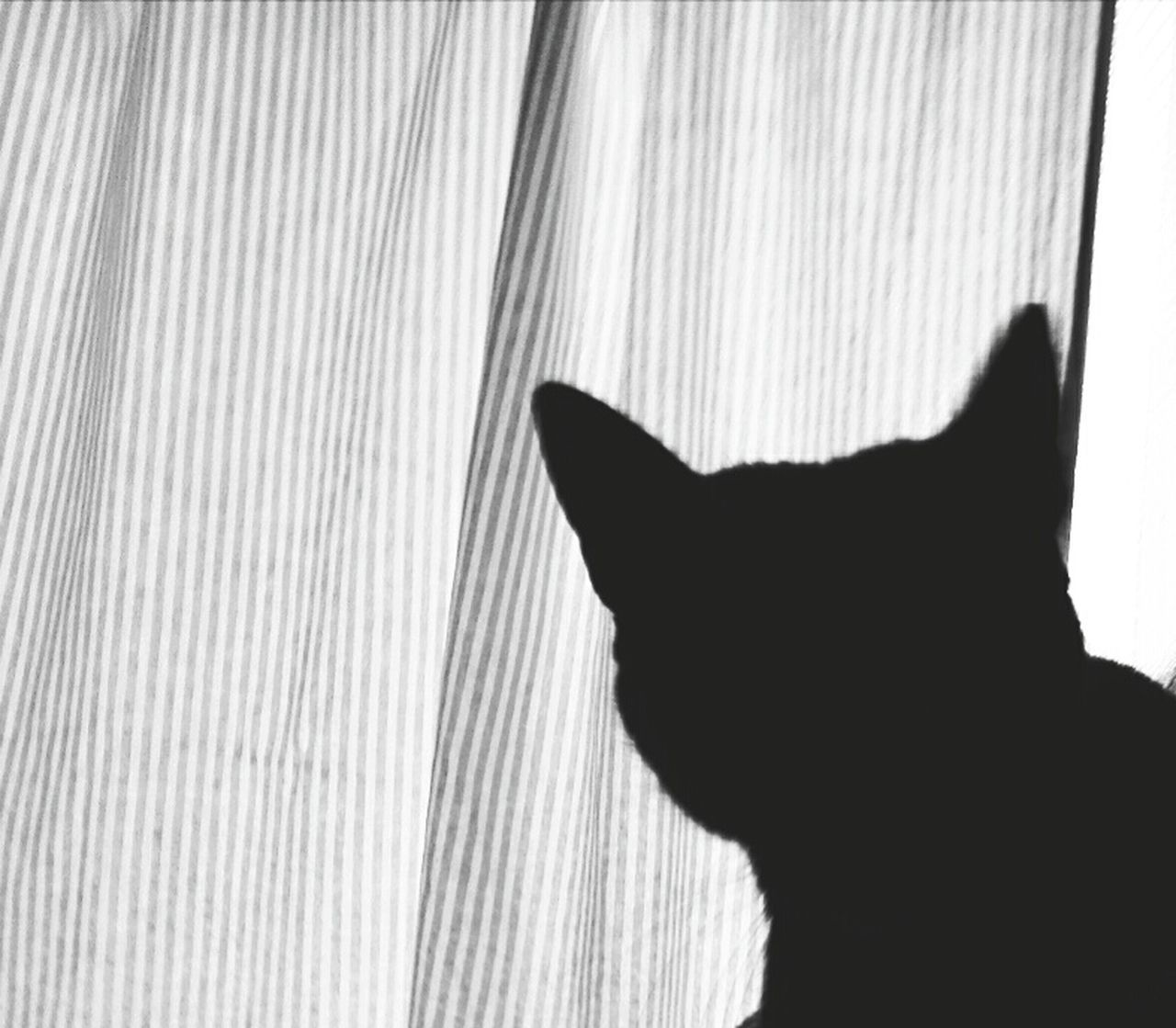 pets, domestic cat, domestic animals, one animal, feline, animal themes, mammal, cat, indoors, curtain, no people, day, close-up