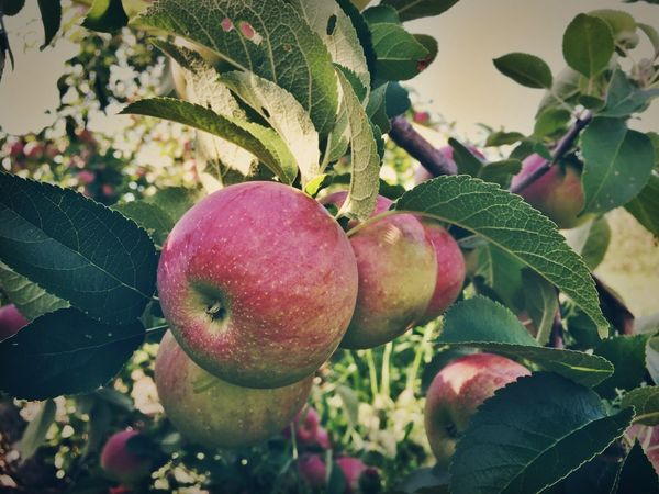 ... Apple Picking ...