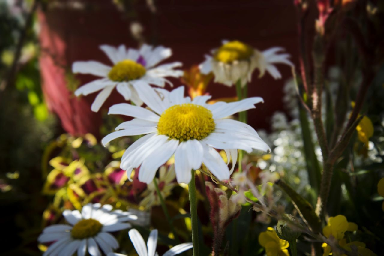 flower, petal, fragility, growth, freshness, flower head, nature, beauty in nature, focus on foreground, white color, yellow, day, plant, outdoors, blooming, close-up, no people