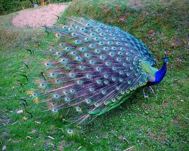 Peacock Peacock Feather Peacock Feathers Peacock Colors Peacock Blue Peacock Art Pfau Colorful Zoo Zürich Zurich, Switzerland Zurich Zoo Park Green Blue Animal (null)Animals Tiere Tierpark Switzerland Beautiful