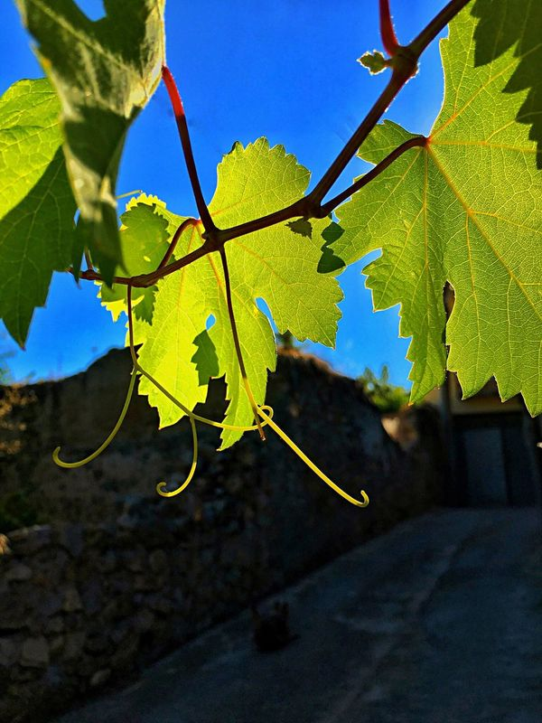 Growth Nature No People Leaf Close-up Outdoors Day Fragility Beauty In Nature Freshness Beauty In Nature Sky Grape Vineyard Cultivation Vineyard