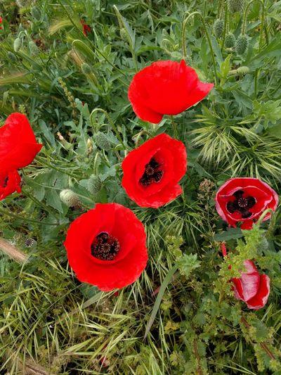 Poppy Poppy Flowers Poppy Fields