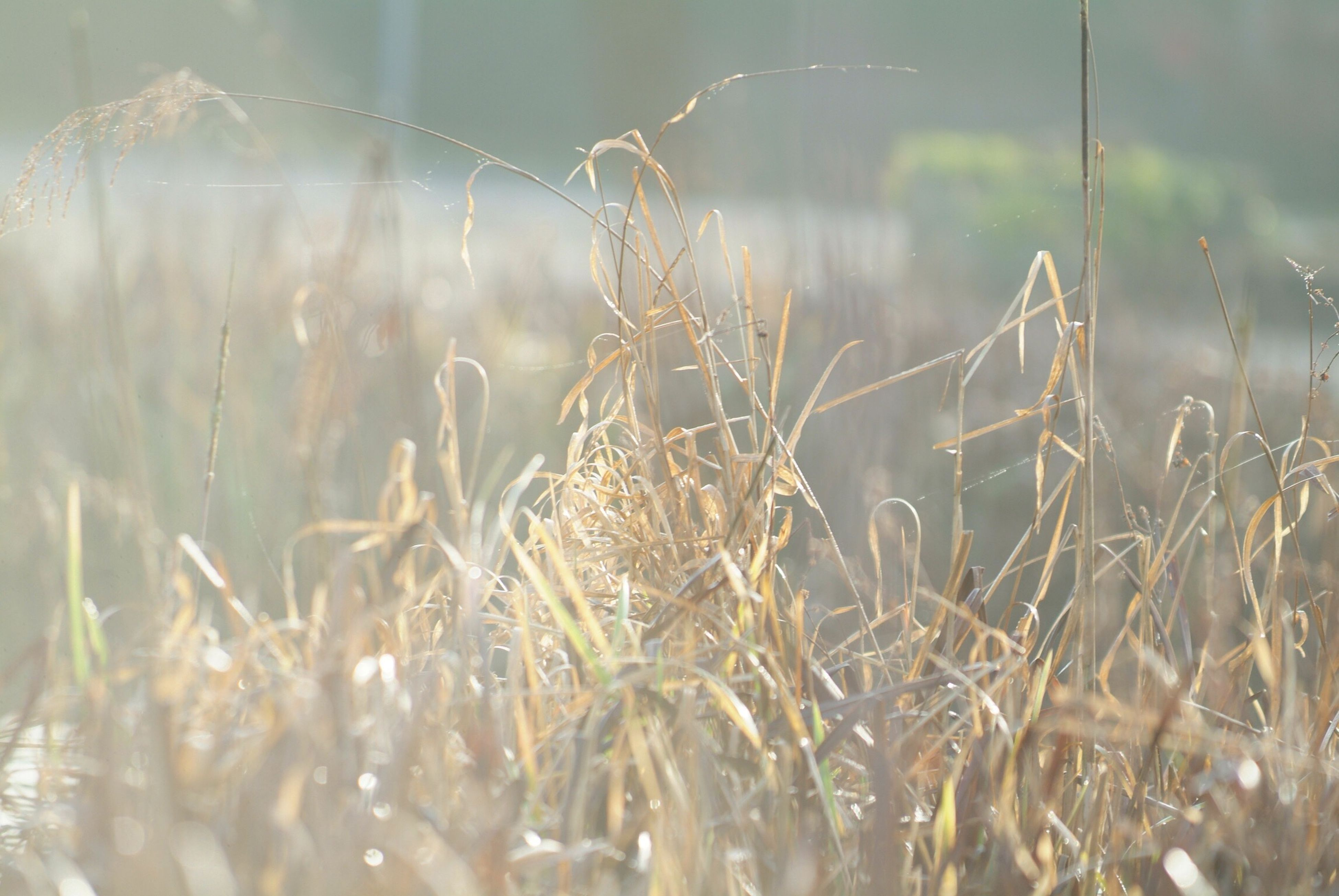 nature, growth, plant, field, cereal plant, no people, close-up, outdoors, rural scene, day, agriculture, beauty in nature, wheat