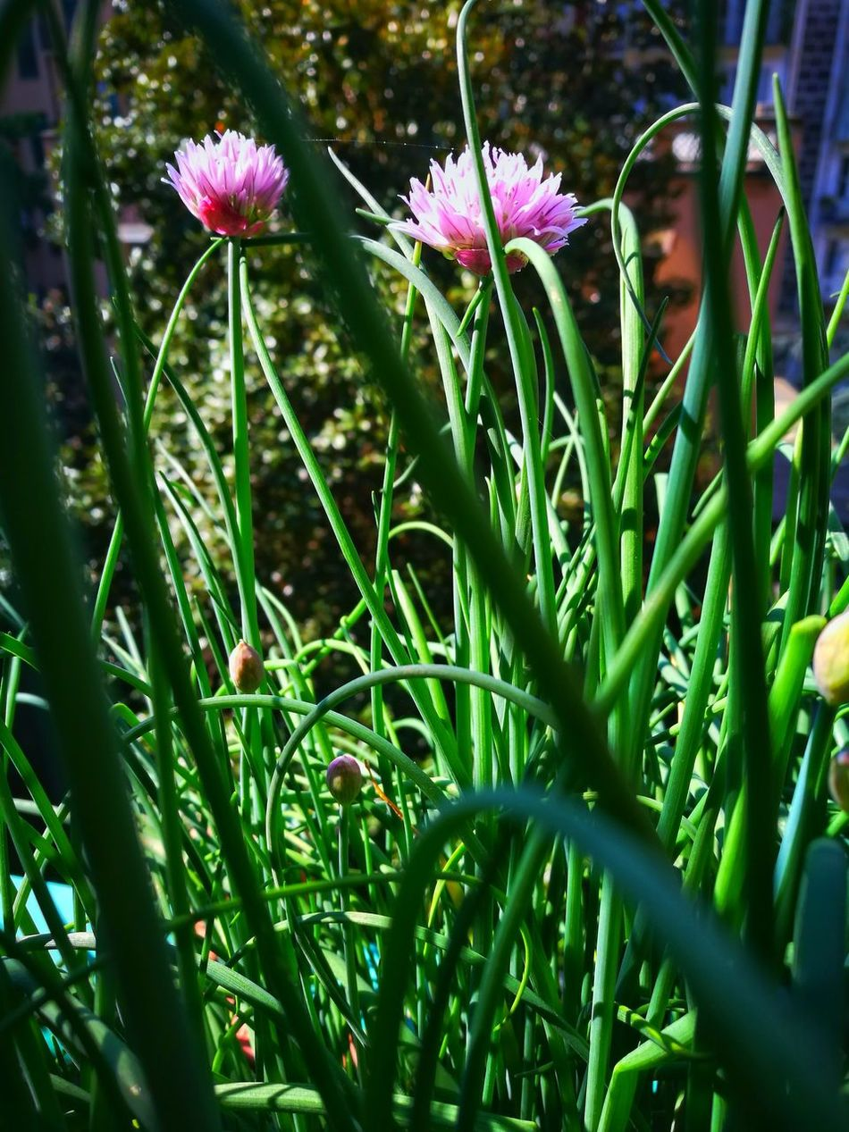 Flower Growth Nature Plant Beauty In Nature Fragility Outdoors Flower Head Day Garden Green Herb Purple Flower No People Springonions Spring Has Arrived