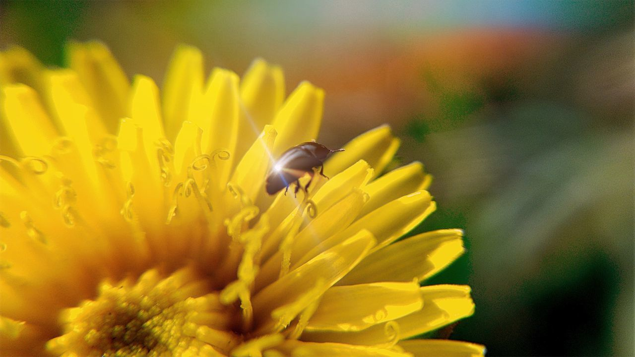 CLOSE-UP OF Beetle POLLINATING YELLOW FLOWER
