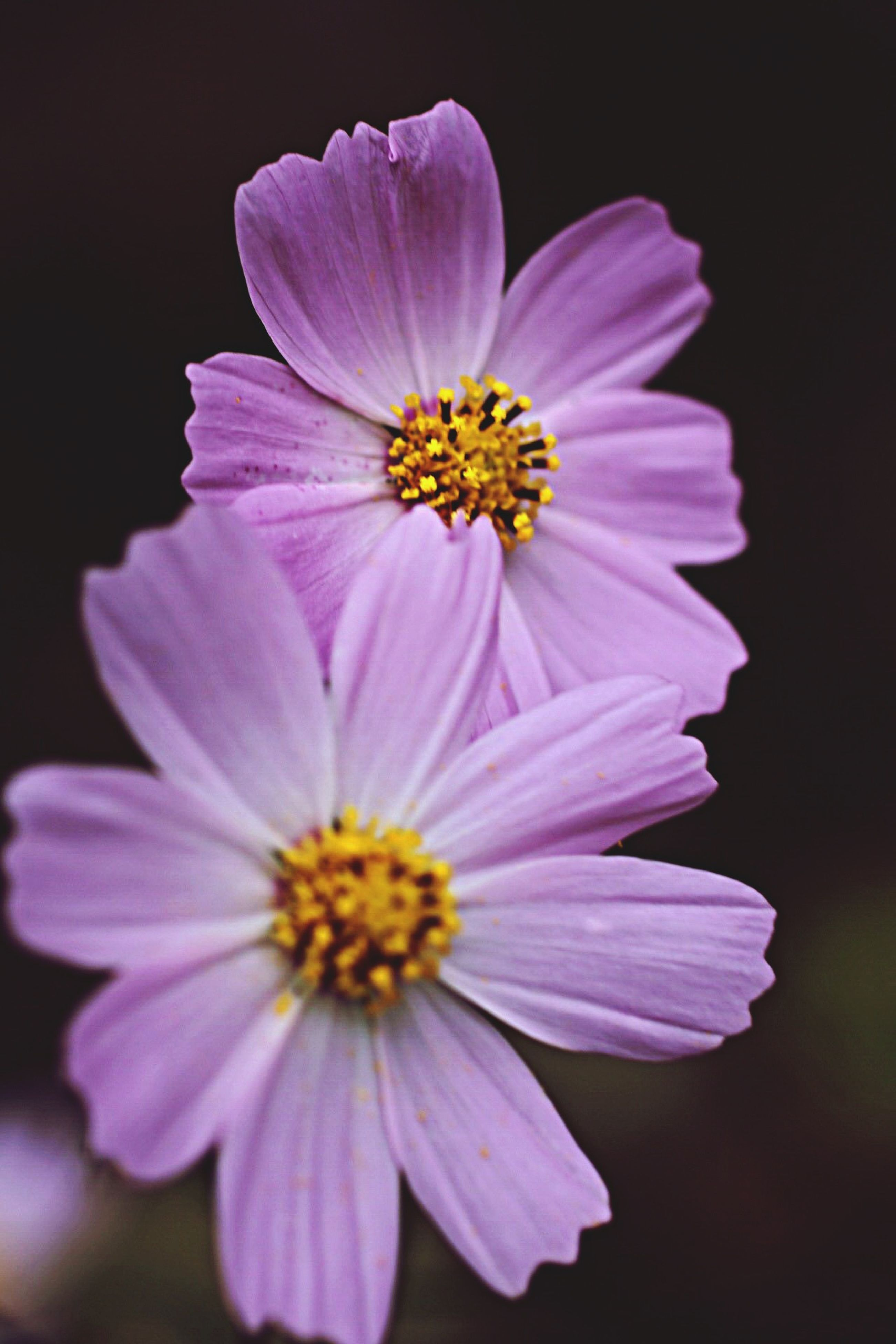 flower, petal, freshness, fragility, flower head, beauty in nature, close-up, pollen, growth, nature, purple, blooming, black background, stamen, yellow, in bloom, studio shot, blossom, single flower, pink color