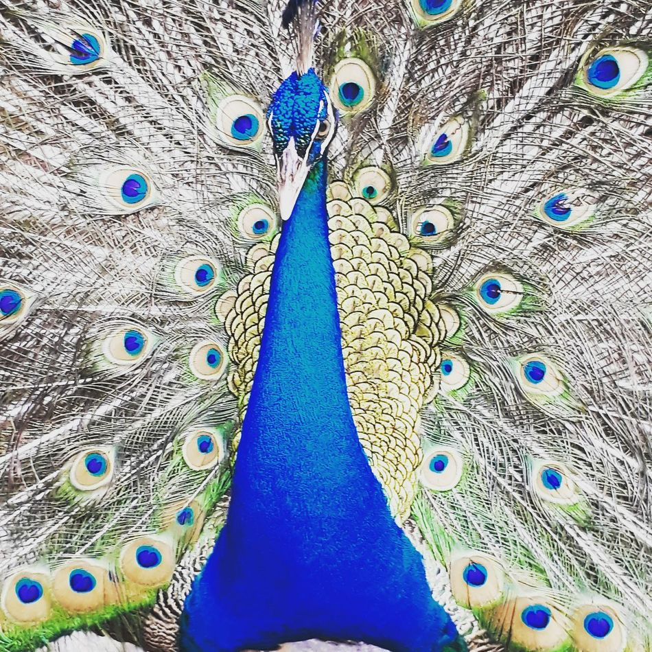 Indian Peafowl Blue Animal Themes Peacock No People Close-up Animals In The Wild One Animal Beauty In Nature Bird Nature Day Outdoors EyeEmNewHere Malaysia Truly Asia Peacock Portrait Peacock Blue Wildlife Wilderness Wildlife & Nature Fanned Out Beauty In Nature Nature Peacock Feather Animals In The Wild