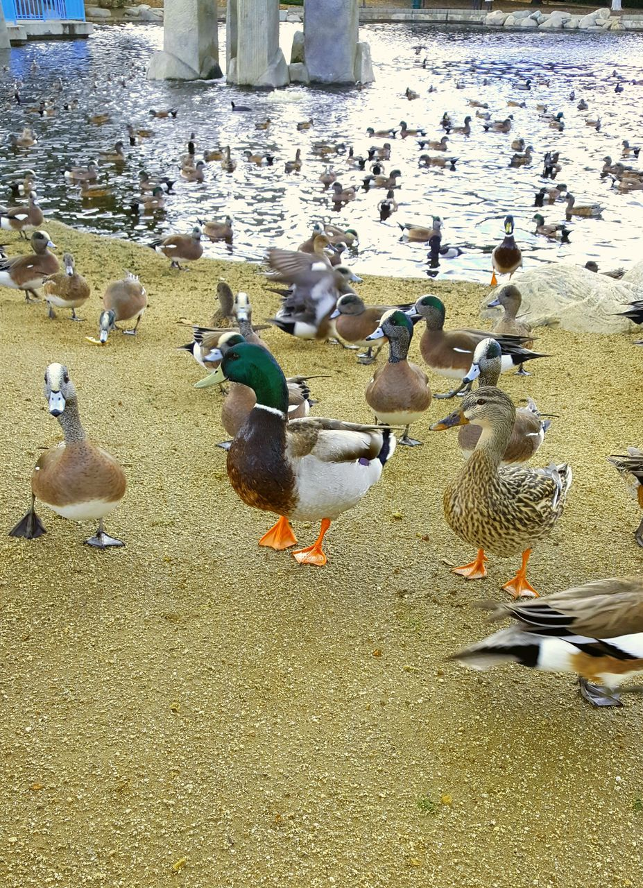 bird, animal themes, large group of animals, animals in the wild, duck, animal wildlife, outdoors, water, nature, day, lake, no people, goose