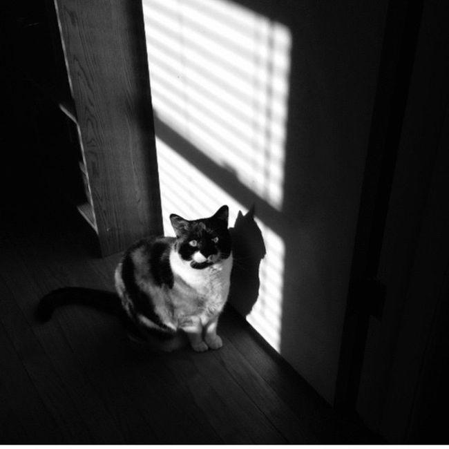 Cat Blackandwhite Cat Noir Film Noir Calico