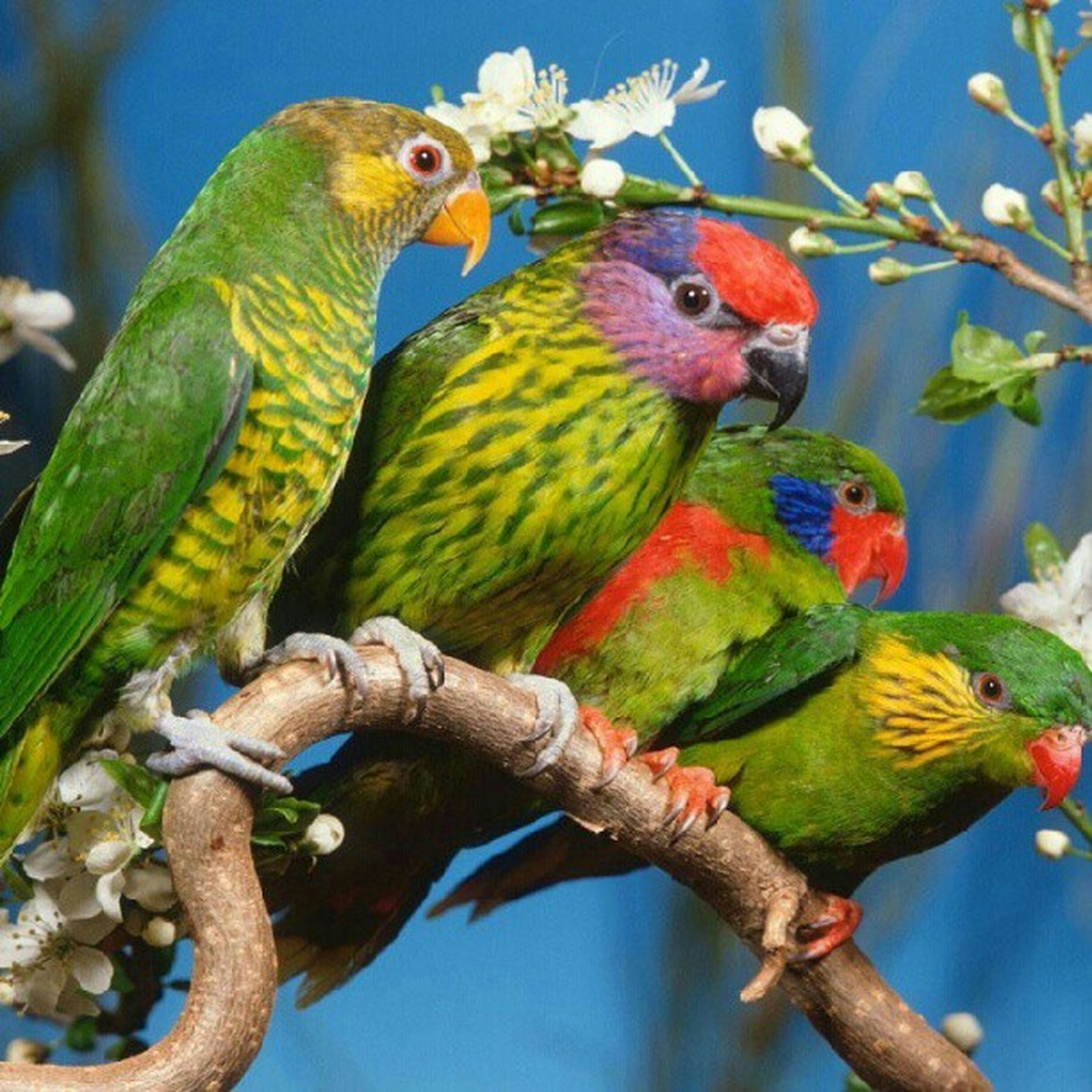bird, animal themes, animals in the wild, parrot, wildlife, perching, branch, one animal, multi colored, low angle view, beak, blue, tree, two animals, close-up, nature, focus on foreground, day, outdoors, no people