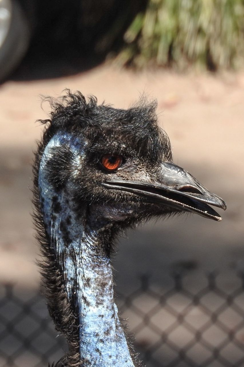 bird, animal themes, focus on foreground, one animal, animals in the wild, animal wildlife, day, animal head, close-up, ostrich, beak, outdoors, no people, nature