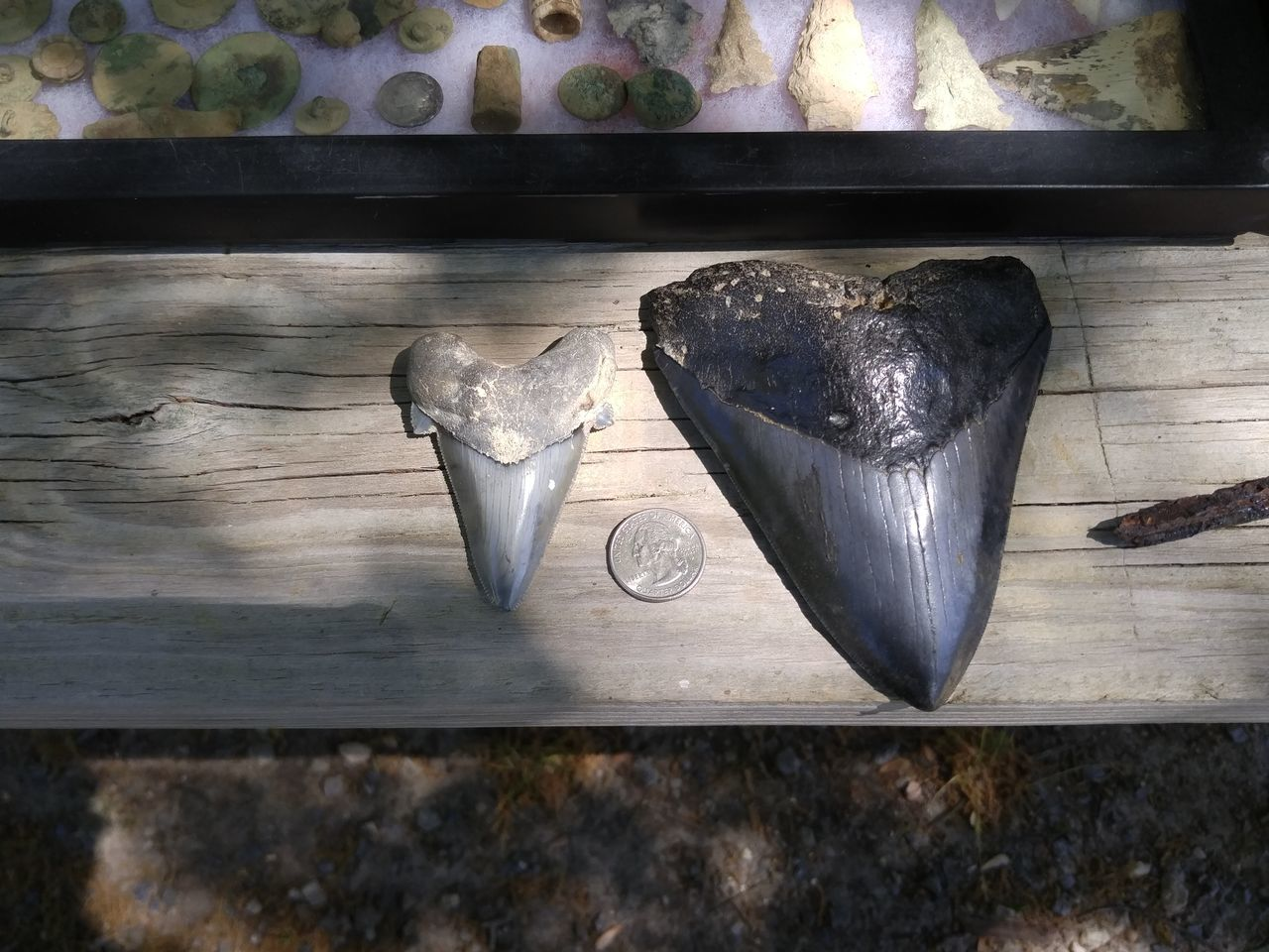 No People Indoors  Close-up Day Sharkteeth Collections Prehistoric Creature Shark Tooth Megaladon No People, Scary