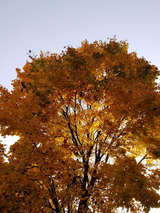 TakeoverContrast Tree Autumn Low Angle View Change Season  Branch Growth Beauty In Nature Scenics Day Nature Tranquility Orange Color High Section Tranquil Scene Outdoors Treetop No People Vibrant Color Majestic