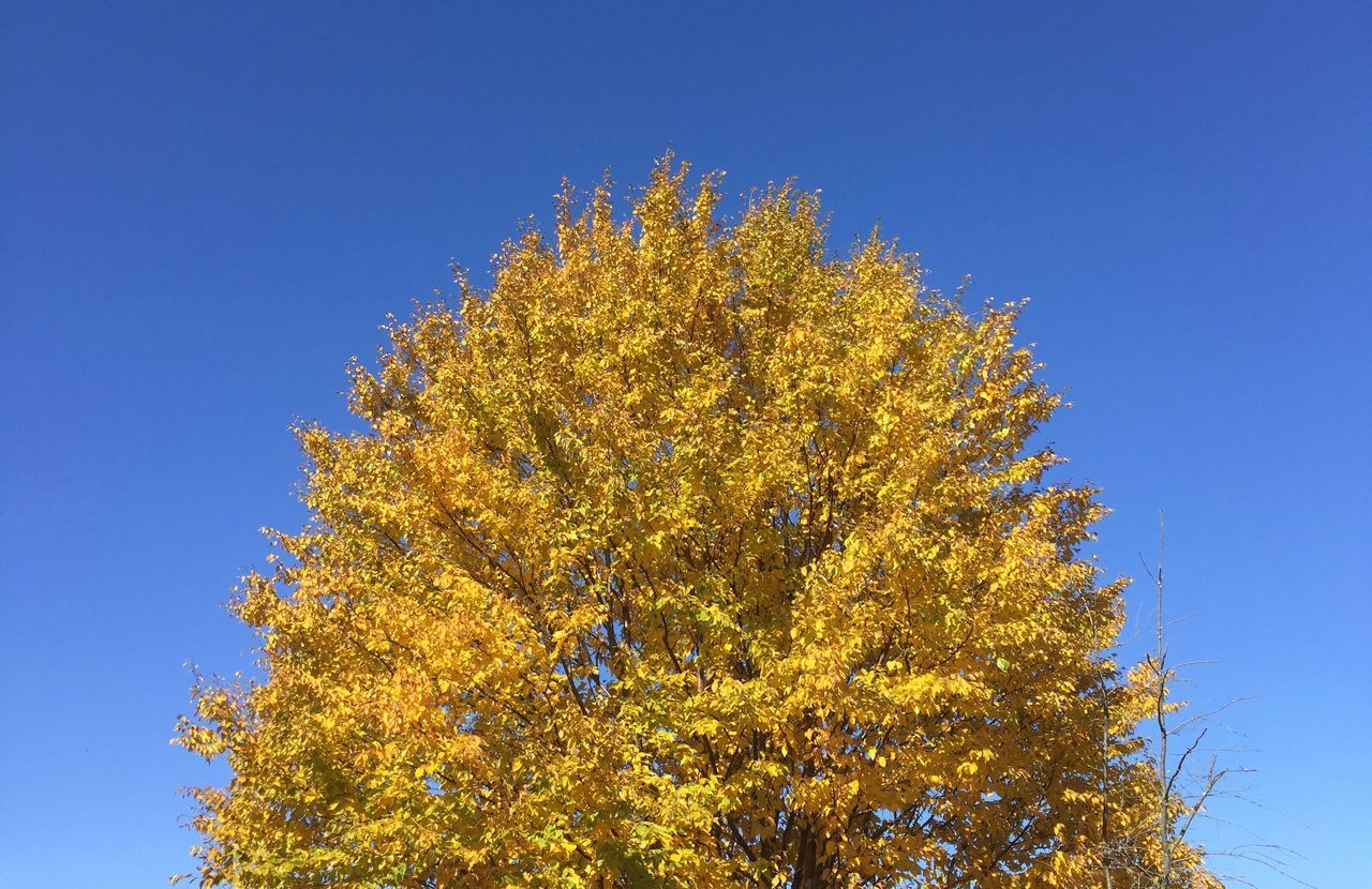 Tree in full autumn color. Tree Autumn Autumn Colors Leaves Branch Beauty In Nature No People Change Day Clear Blue Sky Yellow Leaves Blue Sky No Clouds Limited Palette Brilliant Vibrant