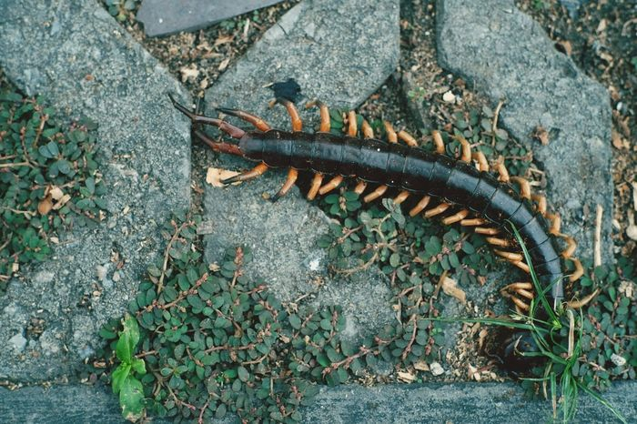 High Angle View Animal Themes One Animal Outdoors No People Close-up Centipede Arthropoda Arthropod Venomous Animal Animals Animal Photography