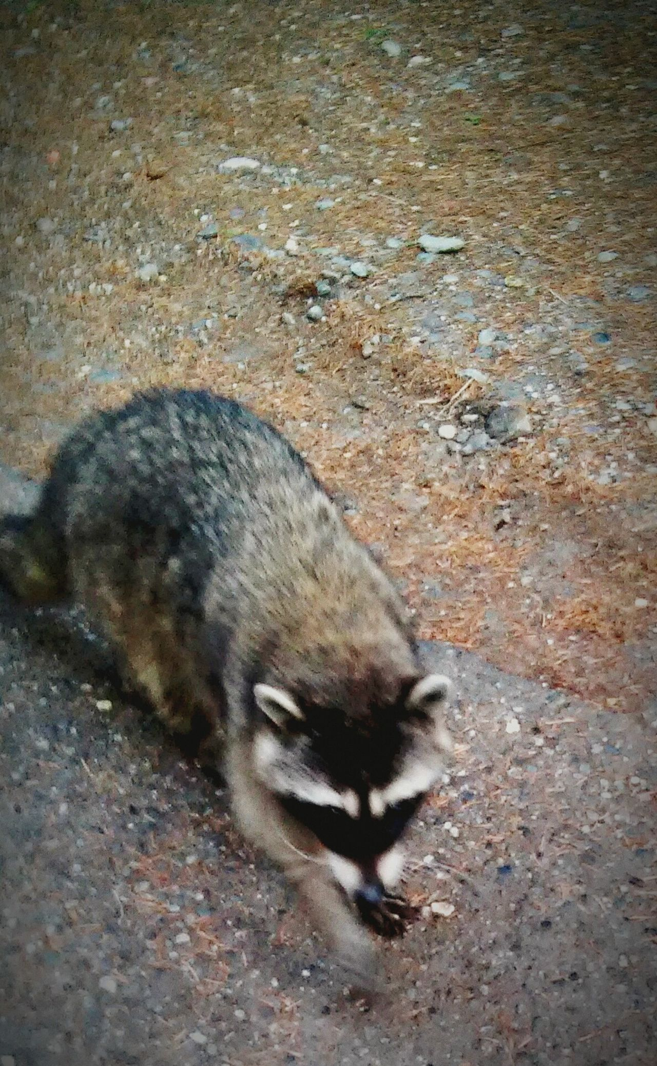 Friendly bandit Hanging Out Taking Photos Wildlife Wildlife & Nature Baby Raccoons Raccoons