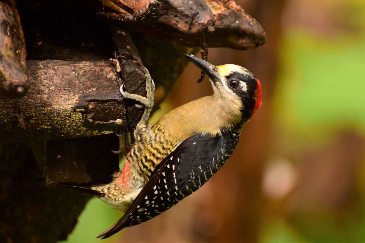 bird, animals in the wild, animal themes, one animal, focus on foreground, animal wildlife, close-up, day, no people, beak, nature, outdoors, perching, woodpecker, bird feeder, great tit, beauty in nature