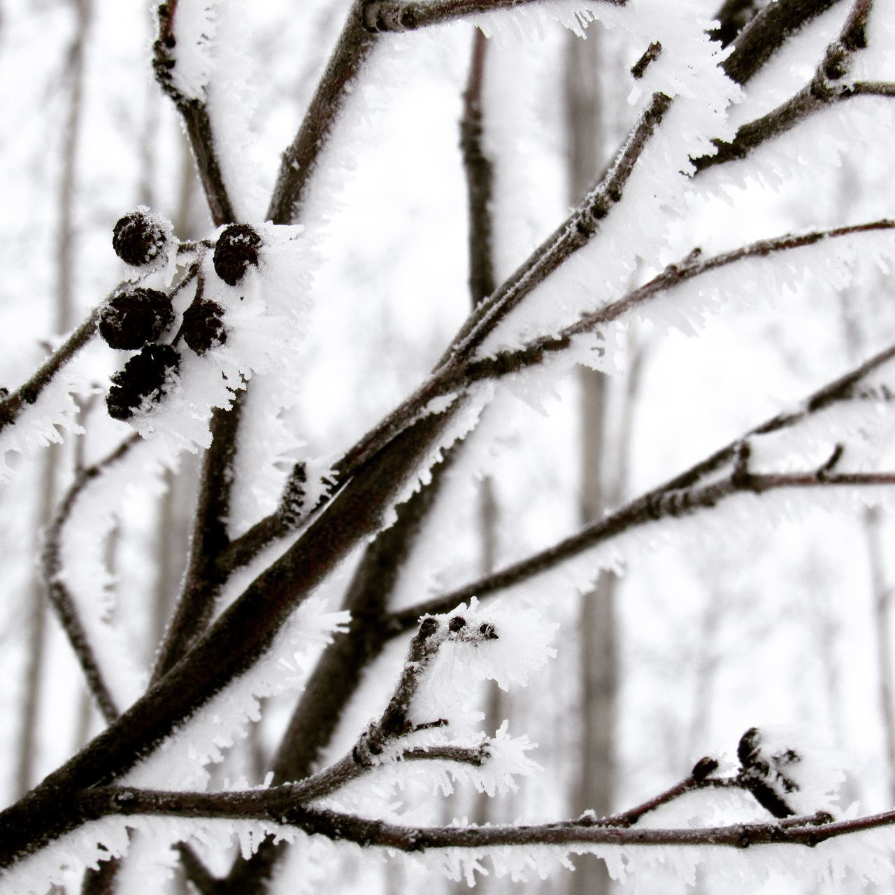 winter, cold temperature, snow, weather, nature, frozen, plant, branch, close-up, white color, twig, tree, day, outdoors, frost, ice, no people, beauty in nature, growth, fragility, freshness