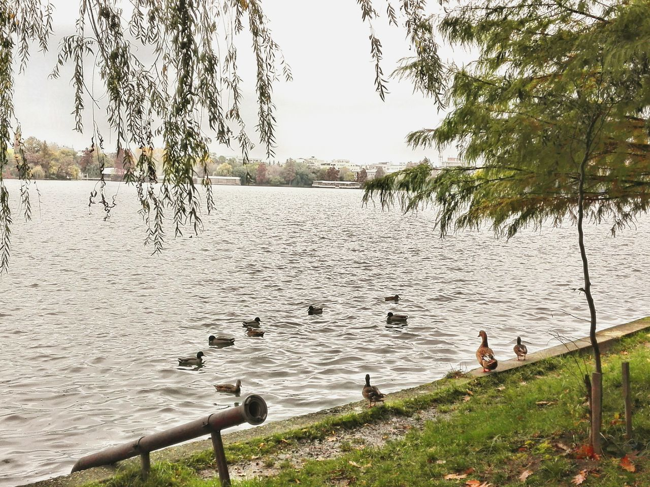 water, animal themes, tree, animals in the wild, lake, nature, bird, animal wildlife, swimming, day, large group of animals, outdoors, water bird, no people, grass, goose, beauty in nature, swan, sky, black swan