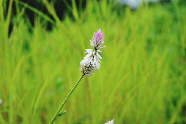 Single Flower Green Leaves Stem Plant Selective Focus Focus On Foreground Grassfield Grassland
