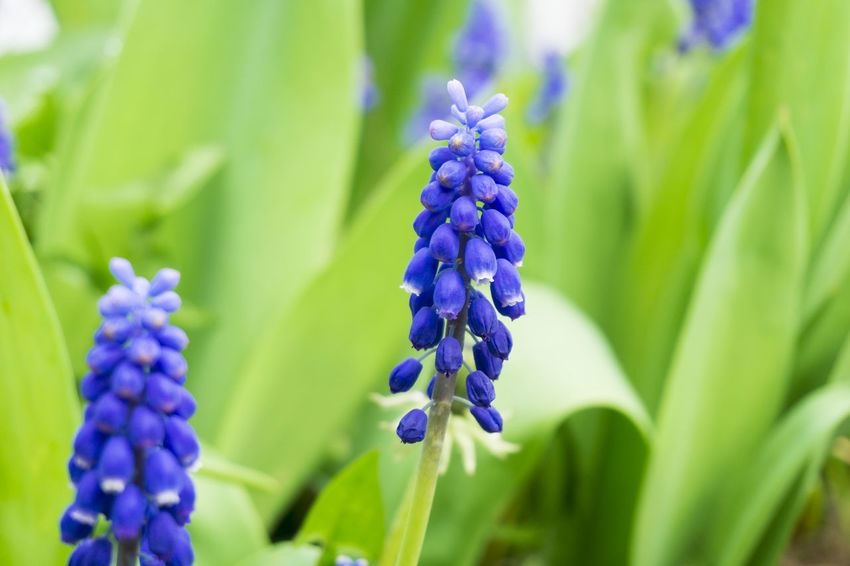 Grape Hyacinths Outdoor Beautiful Field Grass Close-up Flowering Spring Plants Garden Freshness Colors Green Growing Growth Nature Violet Purple Grape Hyacinths Blooming Muscari Flowers Hyacinths Seasons