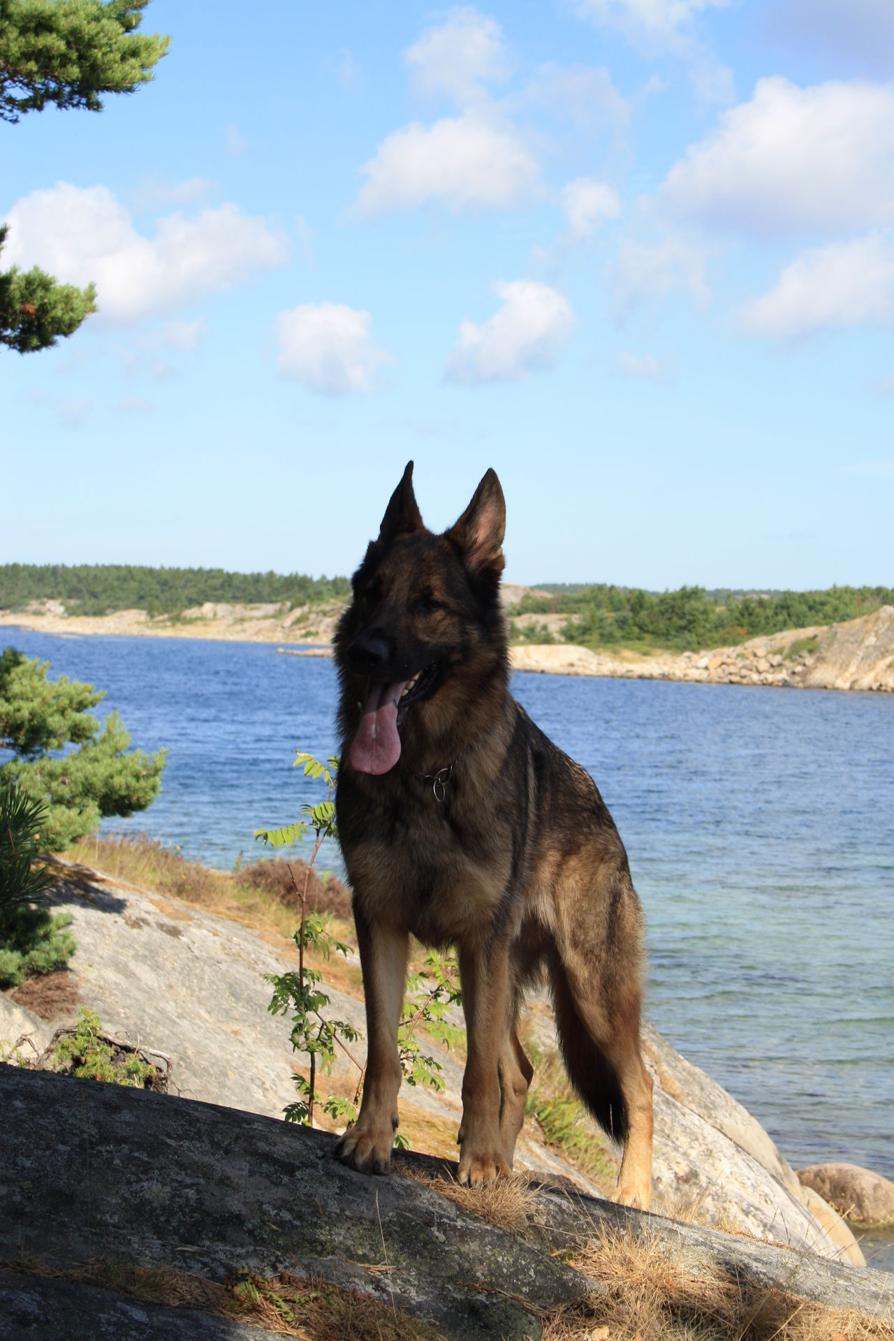 Beautiful stock photos of german shepherd,  Beach,  Day,  Dog,  Domestic Animals