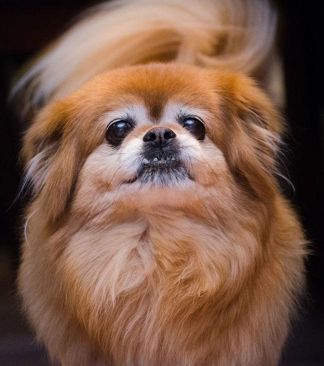Froto!!!!! Animal Themes Close-up Day Dog Domestic Animals Indoors  Mammal No People One Animal Pets Pomeranian Dogofeyeem Dogsoftheday Doglovers LionCut