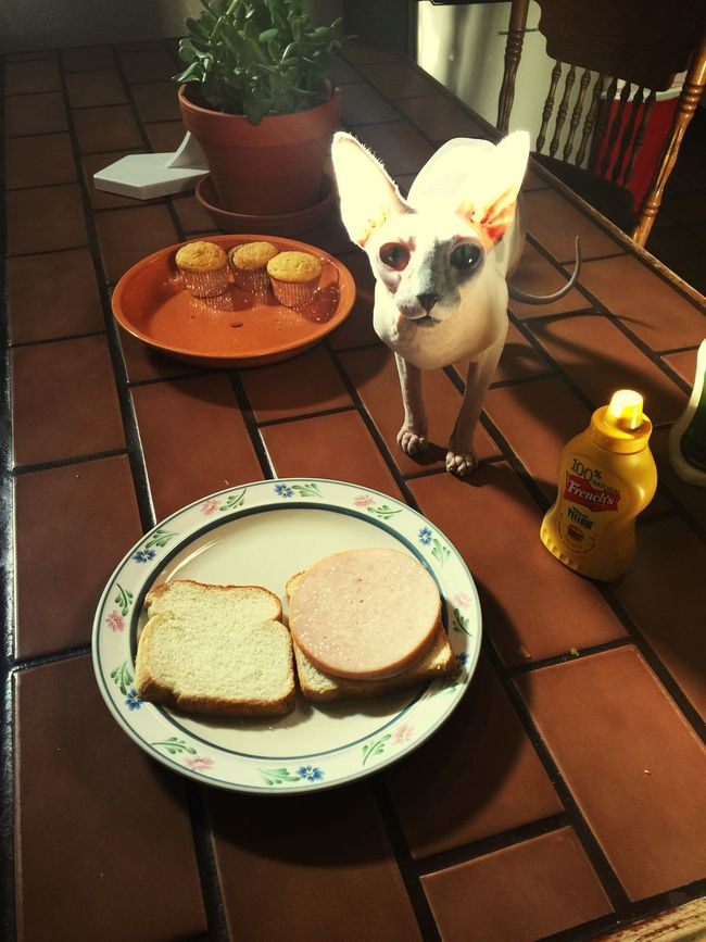 No sandwich is safe around this girl.. My Shinx Cat Sphinx Sphinx Cat