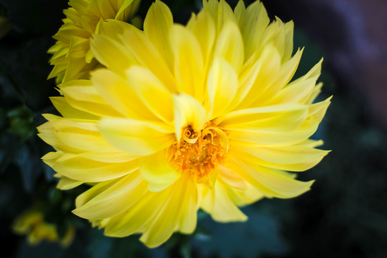 Beauty In Nature Flower Flower Head Fragility In Bloom Nature Softness Yellow