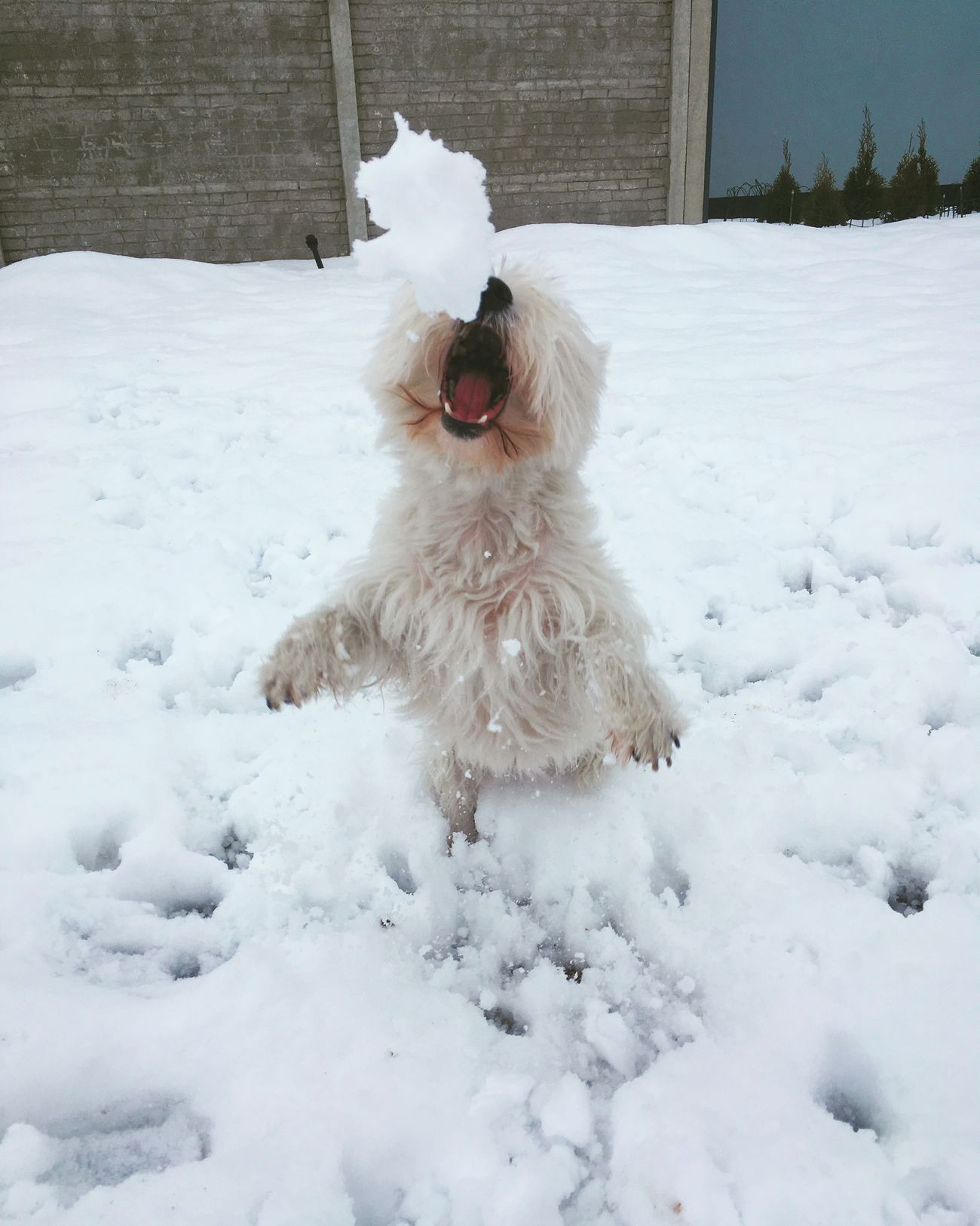 Snow West Highland White Terrier Dog Goodgirl I Love My Dog Hello World My Dog Is Cooler Than Your Kid. Queen Wintertime Play Pets Dog Love Westie Dogs My Girl My Dog Winter Westies Catching A Show Lady Game Dogs Of EyeEm Teeth Animal Dogslife