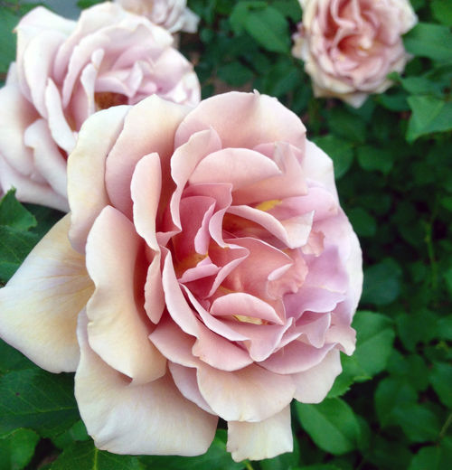 Antique Rose Bush Beauty In Nature Blooming Blooming Antique Rose Close-up Day Dusty Pink Flower Flower Head Focus On Foreground Fragility Freshness Full Bloom Growth Nature No People Outdoors Peony  Petal Pink Color Plant Rose - Flower