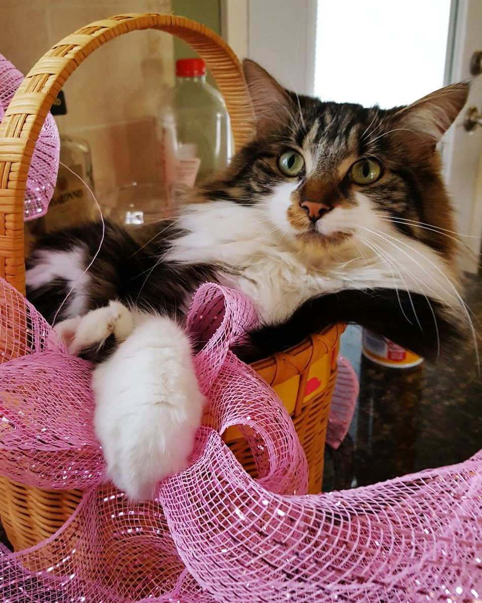 Pets Domestic Cat Domestic Animals One Animal Animal Themes Indoors  Feline Cats 🐱 Cat Cute Pets Pink Basket Easter Easter Bunny Easter Decoration Easter Basket  Animal Animals Cute Cute Cats Ribbon Ribbons Derp Derpcat No People